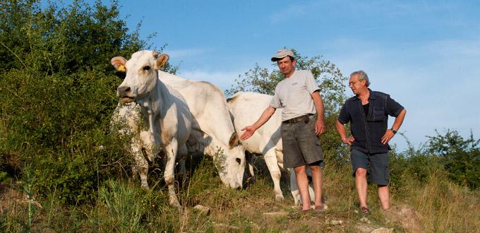 Allevamento Del Bovino Marchigiano Nell'Azienda Agricola