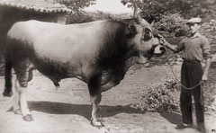 Agostino Celli with his bull Ergom, in 1954 in Pian del Bosco, Novafeltria